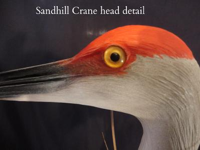Sandhill Crane head detail